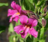 Mimulus lewisii - Red Monkey Flower 2.jpg