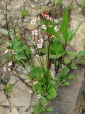 Saxifraga lyallii - Red-stemmed Saxifrage 1.jpg