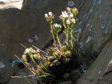 Saxifraga tricuspidata1.jpg