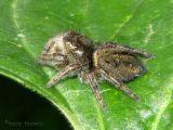 Phidippus sp. - Jumping Spider A1.jpg