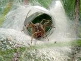 Agelenopsis utahana - Funnel-weaver Spider female 2.jpg