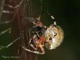 Araneus marmoreus - Marbled Spider with prey 2.jpg