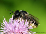 Megachile sp. - Leaf-cutter Bee A1.jpg