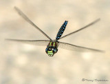 Aeshna palmata - Paddle-tailed Darner in flight 8a.jpg