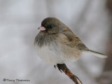 Dark-eyed Junco female 12a.jpg