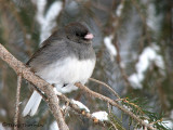 Dark-eyed Junco 23a.jpg