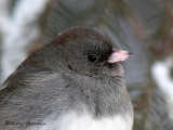 Dark-eyed Junco 22b.jpg