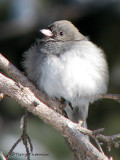 Dark-eyed Junco 24a.jpg
