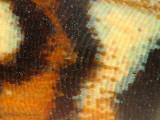 Butterfly wing 5a copy.jpg