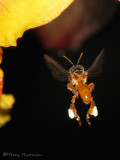 Stingless bee in flight A1a - SV.jpg