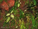 Various plants on a rock face A1a - SV.jpg