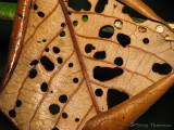 Dead leaf 1 - SV.JPG