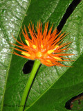 Flower A1a - SV.jpg