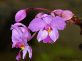 Orchid A2a - SV.jpg