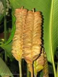 Rattlesnake Plant - Calathea crotalifera 1a - SV.jpg
