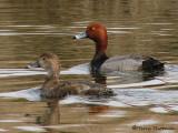 Redhead pair 1a.jpg