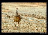 Lazy 5 Ranch - Duck
