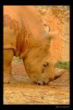 Lazy 5 Ranch - Rhino