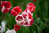 Tulip's Dancing with the wind