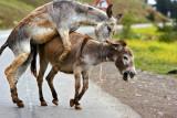Donkey Affair