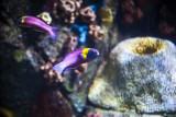 Cortez Rainbow wrasse (Thalassoma Lucasanum)
