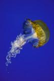 West Cost Nettle (Chrysaora Fuscescens)