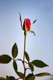Roze Bud