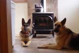 Charlie & Schatzi (German Shepherd Dogs)