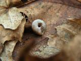 Snail E South March Highlands Kanata 05 April 2009 011 3.jpg