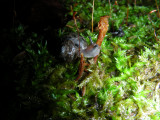 Snail F South March Highlands Conservation Forest Kanata 01June2008 214 2.jpg