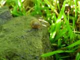 Snail I cf Trochulus hispidus Beaverbrook Kanata 30June2008 012 3.jpg