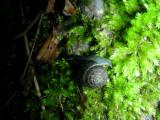 Snail J cf Trochulus hispidus South March Highlands Conservation Forest Kanata 01June2008 070 1.jpg