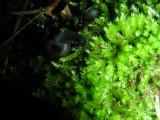 Snail J cf Trochulus hispidus South March Highlands Conservation Forest Kanata 01June2008 070 5.jpg