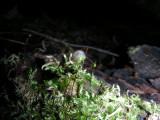 Arion sp on Brachythecium sporophyte Trillium Woods Kanata 28 September 2008 128.jpg
