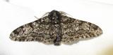 Biston betularia - 6640 - Peppered Moth