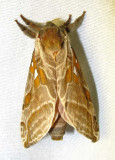 Sthenopis argenteomaculatus - 0018 - Silver-spotted Ghost Moth