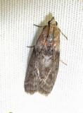Sciota subcaesiella - 5796 - Locust Leafroller Moth