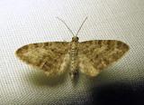 Eupithecia subfuscata - 7487