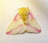 Dryocampa rubicunda - 7715 - Rosy Maple Moth - view 2