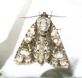 Acronicta superans - 9226 - Splendid Dagger Moth - view 1