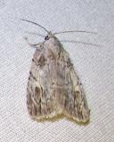 Balsa malana - 9662 - Many-dotted Appleworm moth