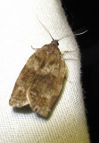 Choristoneura conflictana - 3637 - Large Aspen Tortrix