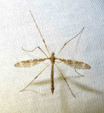 small Crane fly that came to the light