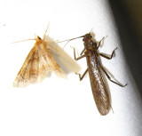 Metarranthis indeclinata moth with a Perlidae species (?) stonefly