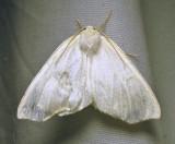 Tetracis cachexiata - 6964 - White Slant-Line