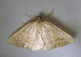 Homochlodes fritillaria (probable) - 6812 - Pale Homochlodes - worn