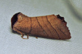 Datana ministra - 7902 - Yellow-necked Caterpillar Moth