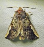 Symmerista albifrons - 7951 - White-headed Prominent