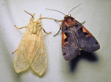 Halysidota tessellaris - 8203 & Xestia dolosa - 10942.1