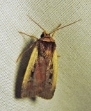 Ochropleura implecta - 10891 - Flame-shoulder